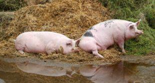 صورة لخنزيرين في الحظيرة