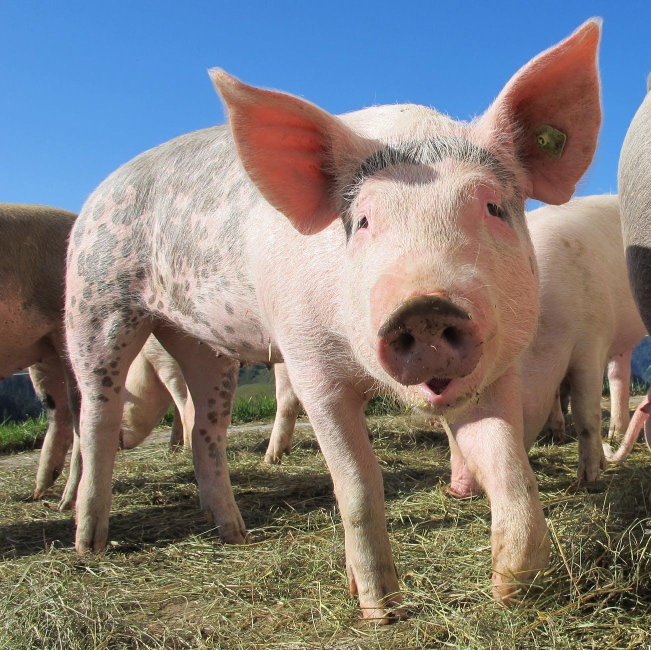 الخنزير
