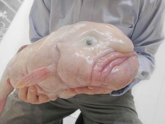 السمكة الفقاعة