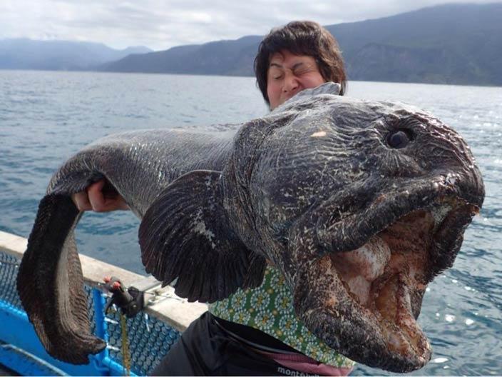سمكة الذئب الأطلسي